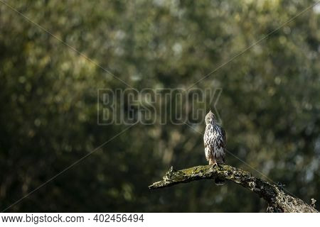 Changeable Or Crested Hawk Eagle Perched On Branch In Natural Green Background With An Eye Contact A