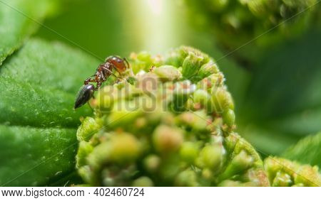 Macro Stock Image - Small Red Fire Ants Eating On The Leafs With Selective Focus. Macro Close Up A L