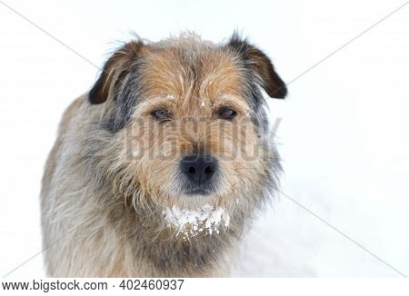 Portrait Of A Cute Sheepdog Male With Snow In The Fur