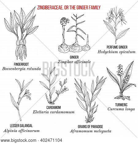 Set Of The Ginger Family Ornamental, Or Medicinal Plants. Hand Drawn Botanical Vector Illustration