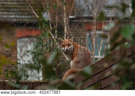 Red Fox (vulpes Vulpes) Wandering On Top Of Brick Wall Spiked With Broken Glass During His Early Mor