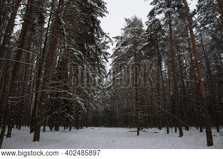Idyllic View Of Spruces Covered In Snow. Frosty Day, Exotic Wintry Scene. Magic Carpathian Mountains