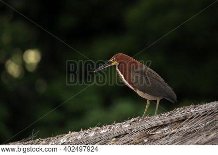 Rufescent Tiger Heron (tigrisoma Lineatum). Amazon Rainforest, Brazil