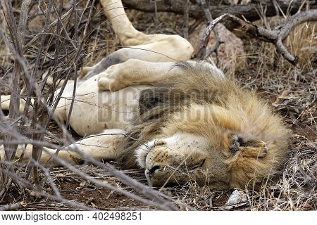 Lion Lying On His Back On The Ground, Satisfied After Having A Meal. Kruger Park, South Africa