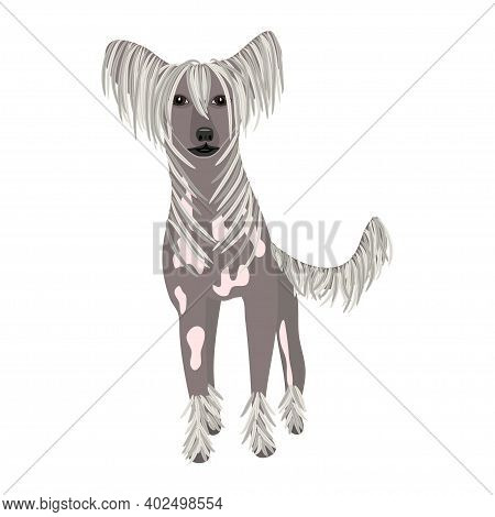 Chinese-crested Dog On White Background. Color Illustration. Vector.