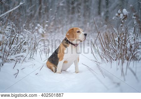 Cute Beagle Dog On A Walk In The Park In Winter During Heavy Snowfall . Portrait Of A Beagle On A Sn