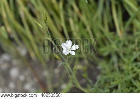 Maiden Pink White - Latin Name - Dianthus Deltoides Albus