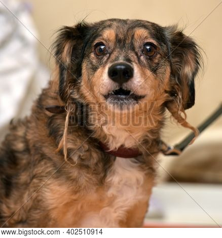 Little Funny Brown Pooch Dog  Close Up