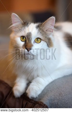Beautiful Cute Fluffy White Cat With A Spot On The Nose