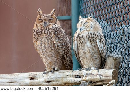 A Pair Of Pharaoh Eagle-owl (bubo Ascalaphus) Up Close Perched On Brach Resting In United Arab Emira