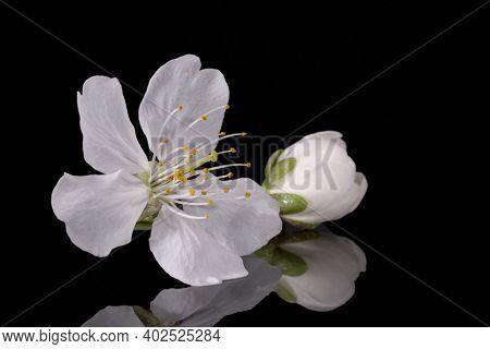 Apple Tree Blossom Isolated On Black Background, Close Up. White Delicate Spring Flowers.