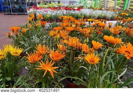 Garden Shop. Gazania (gazania Rigens L.) Is A Genus Of Flowering Plants In The Family Asteraceae, Na