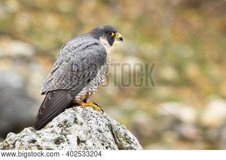 Magnificent Peregrine Falcon Staring On Rock In Spring.