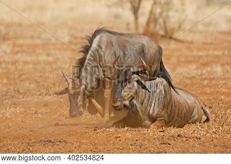 Blue wildebeest (Connochaetes taurinus) in dust, Kruger National park, South Africa