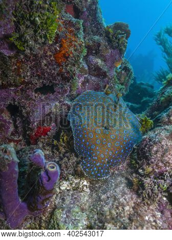 Peacock Flounder,bothus Mancus, Also Known As The Flowery Flounder, Is A Species Of Fish In The Fami