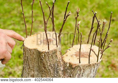 Male Hands Renovation Garden Tree In Spring. Grafting Apple Trees, Pears With Young Cuttings. Using