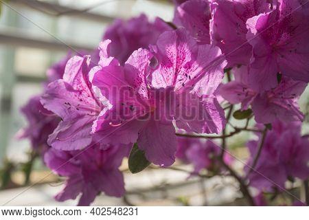 Blooming Pink Azalea Flowers Close-up In A Botanical Garden. Delightful Purple Azalea Flowers. Pink