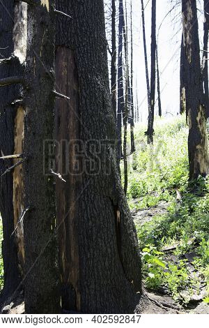 Charred Black Tree Trunks, Wildfire Remains