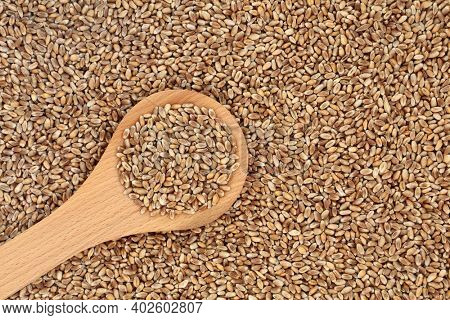 Mulika wheat berries for healthy eating loose and in a wooden spoon forming a background. Bread making spring wheat with superb grain quality. Flat lay, top view.