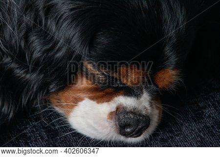 Portrait Of Sleeping Lovely Cavalier King Charles Spaniel