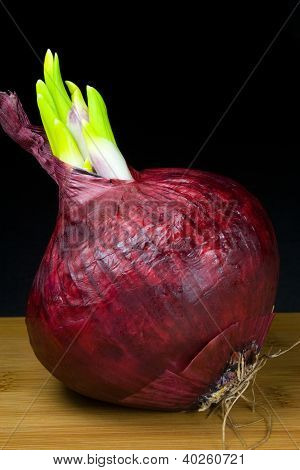 Sprouting Red Onion