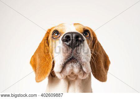 Dog Headshoot Isolated Against White Background. Beagle Dog Looking Up.