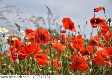 Beautiful Blossom Poppies In A Low Perspective Image