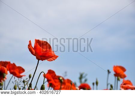 Single Poppy Flower In Focus By A Blue Sky