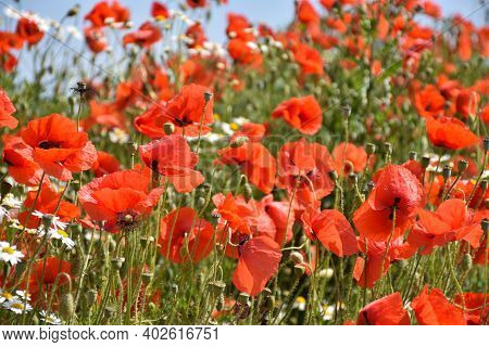 Lot Of Poppy Flowers In A Field