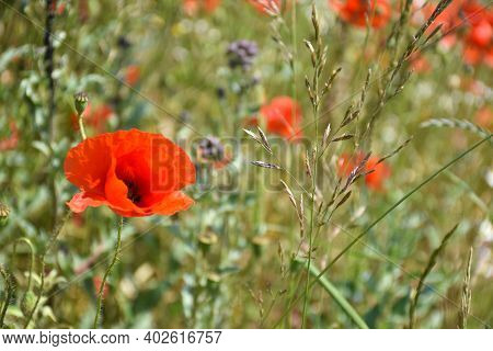 Poppy Wildflower Close Up Among Green Grass