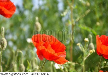 Single Blossom Poppy Flower With Green Natural Background