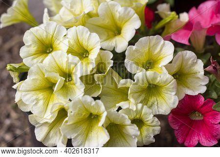 Beautiful Blooming Petunias.petunias In Summer During Flowering.