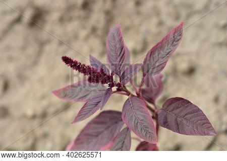 Amaranth Velvet Curtains - Latin Name - Amaranthus Cruentus Velvet Curtains