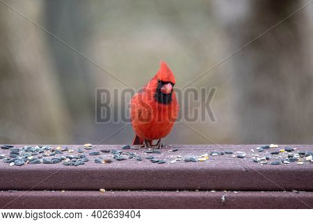 Red Male North American Cardinal Bird Eating Birdseed On A Back Yard Porch Deck In Winter