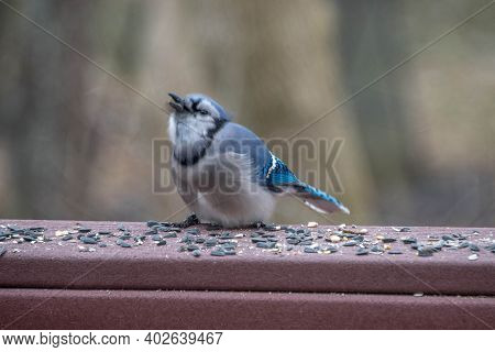 Blue Jay Bird Eating Birdseed On A Back Yard Porch Deck In Winter