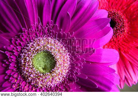 Macro Photo Of Purple Gerbera Flower, Fresh Nature Plant Close-up. Floral Texture Pattern For Backgr