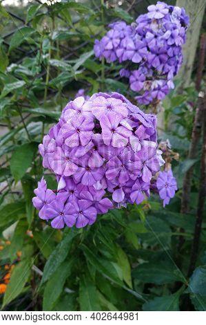 Flowering Phlox Paniculata Bush Close Up, Pleasant Aromas Of Summer Flowering Garden.