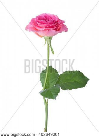 Pink rose isolated on white background.
