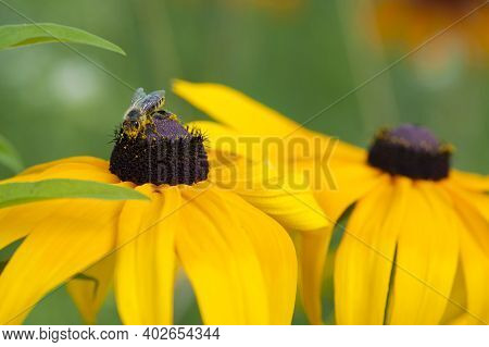 The Honey Bee Collects Nectar From The Yellow Echinacea Flower. Close-up Image. Bee On A Large Yello