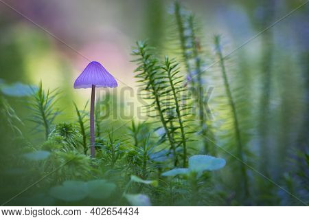 Small Forest Mushroom In Green Moss. A Small Purple Mushroom Growing In A Moss-covered Forest In The