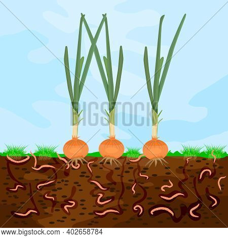Ground Cutaway With Onion And Earthworm. Earthworms In Garden Soil. Composting Process With Organic