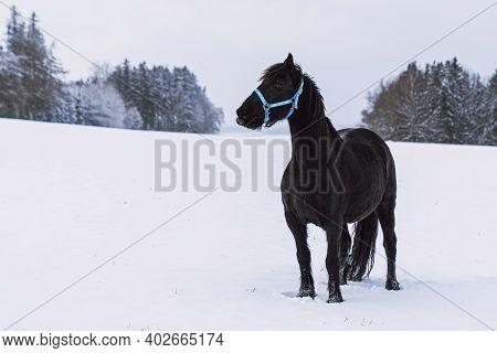Friesian Stallion In Winter Field. Black Friesian Horse In Winter.