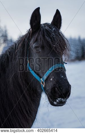 Portrait Of A Friesian Horse On The Background Of The Winter Forest