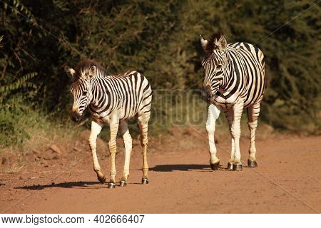 A Mountain Zebra (equus Zebra) Mother With A Baby In Grassland With Dry Grass In Background. Young Z