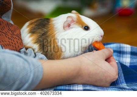 A Child Is Feeding A Funny Guinea Pig. Guinea Pig Eating A Carrot.
