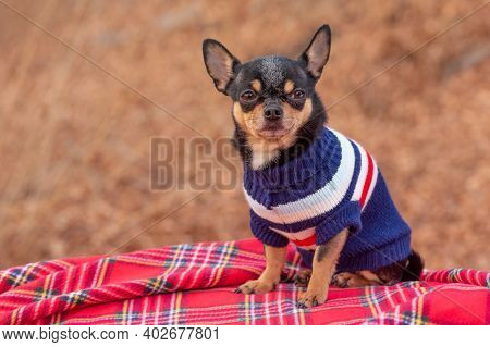 Dog In Clothes For A Walk. Adorable Chihuahua Dog Outdoors In A Sweater. Dog In Winter Or Autumn