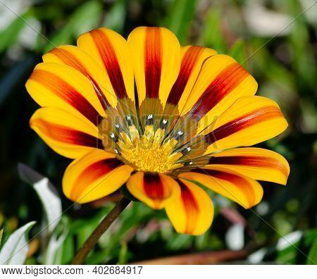 Close Up Of Yellow Orange Gazania Big Kiss Yellow Flame Treasure Flower.  Macro Shot.  Beautiful Gar