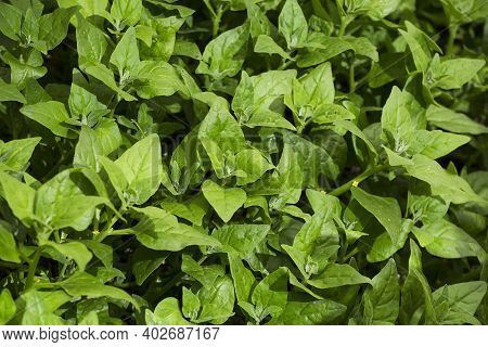 Fresh Spinach Leaves Growing In Greenhouse - Spinacia Oleracea