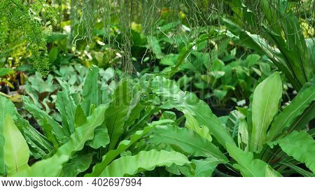 Bright Juicy Exotic Tropical Greenery In Jungle. Selective Focus Natural Organic Background, Unusual
