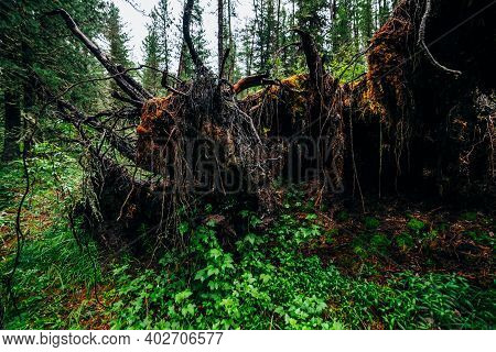 Big Fallen Tree Root Covered With Thick Moss In Taiga Wilderness Among Fresh Greenery. Atmospheric B
